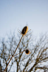 A Thistle on a Clear Day by Wilhelmina-vanRoyen