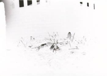 Negative Flowers by Wilhelmina-vanRoyen