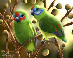 Double-eyed fig parrots