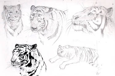 Tiger Sketches by freaky-dragonlady