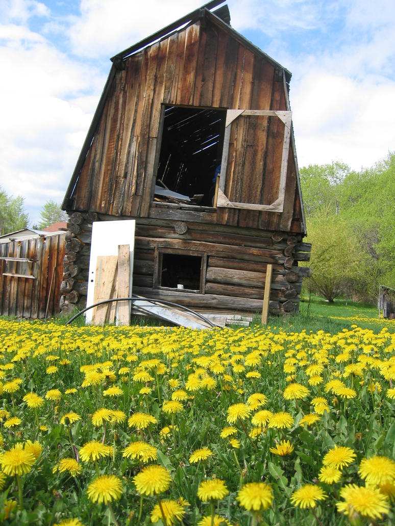 Dandelion and Barn by themapper