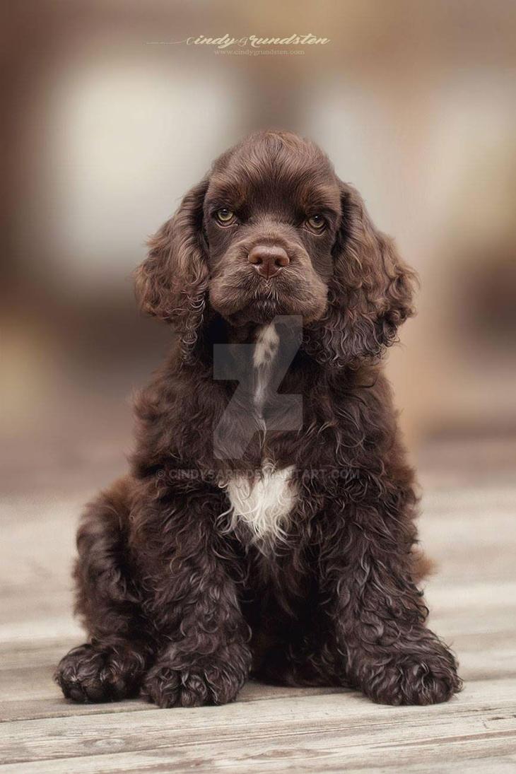 American Cocker puppy by CindysArt