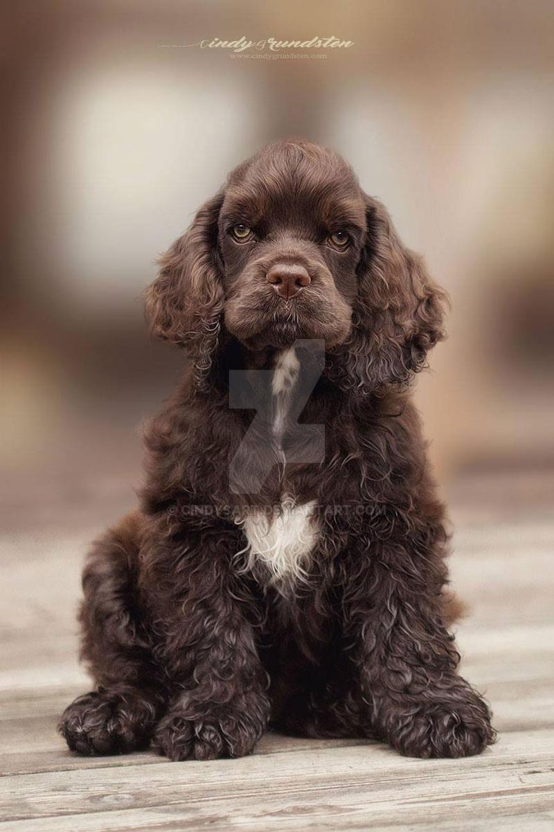 American Cocker puppy