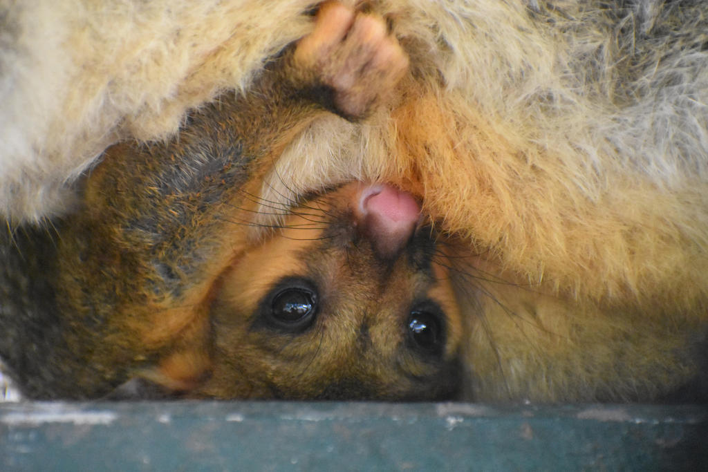 Baby Possum by Rrabbix