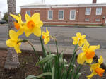 Daffidills out side the United States Post Office.