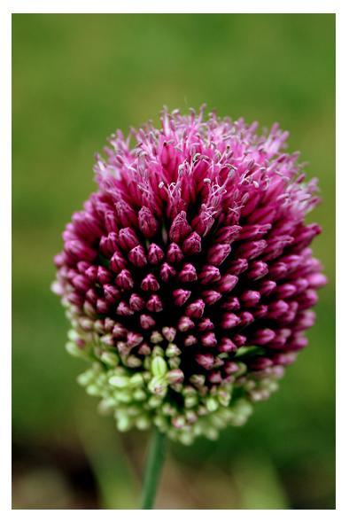 purple flower by wickedhollow