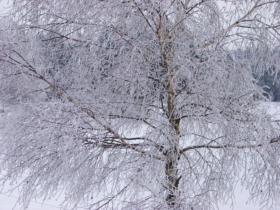 tree in snow wallpaper > tree in snow Papel de parede > tree in snow Fondos