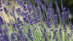 Lavender by Payomihael
