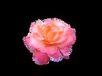 Rose stock PNG