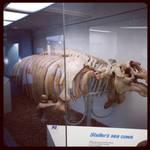 Skeleton of Steller's Seacow