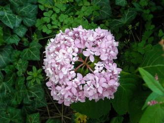 Big Pink Ball Amongst English Ivy by mycalsee