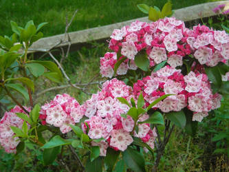 Mountain Laurel by mycalsee