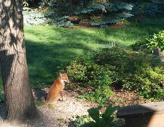 Looking Foxy in the Morning (Img20170602) by mycalsee