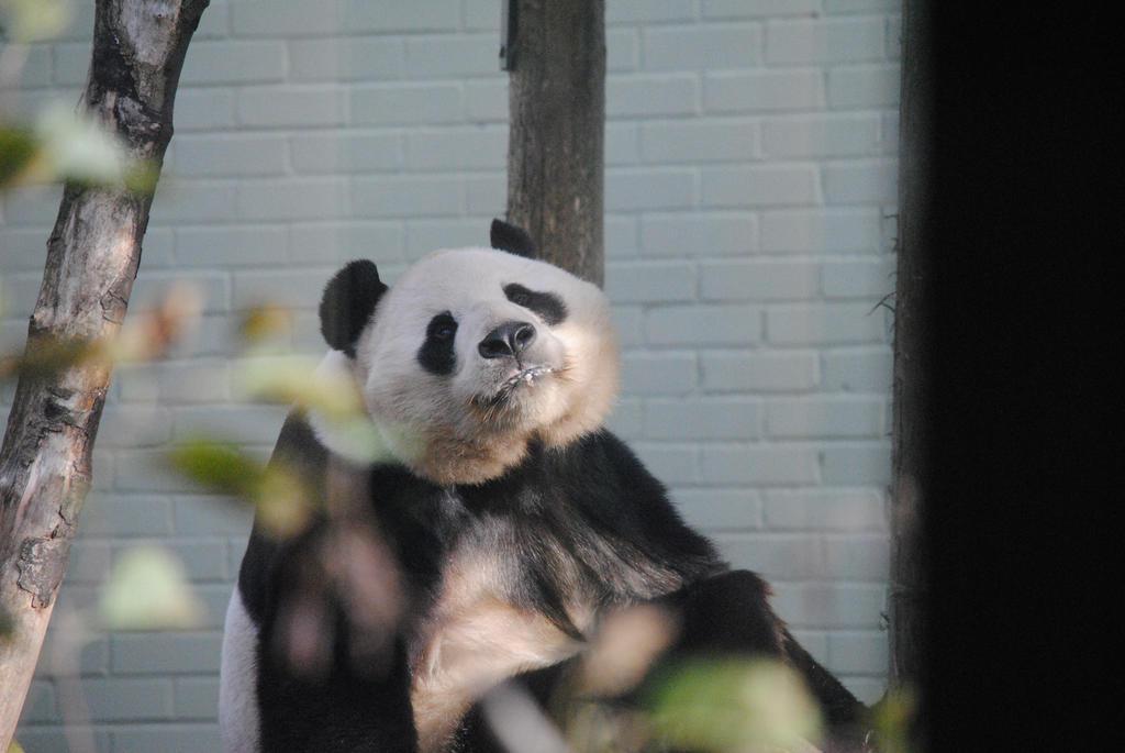 Giant Panda by Pridalic11