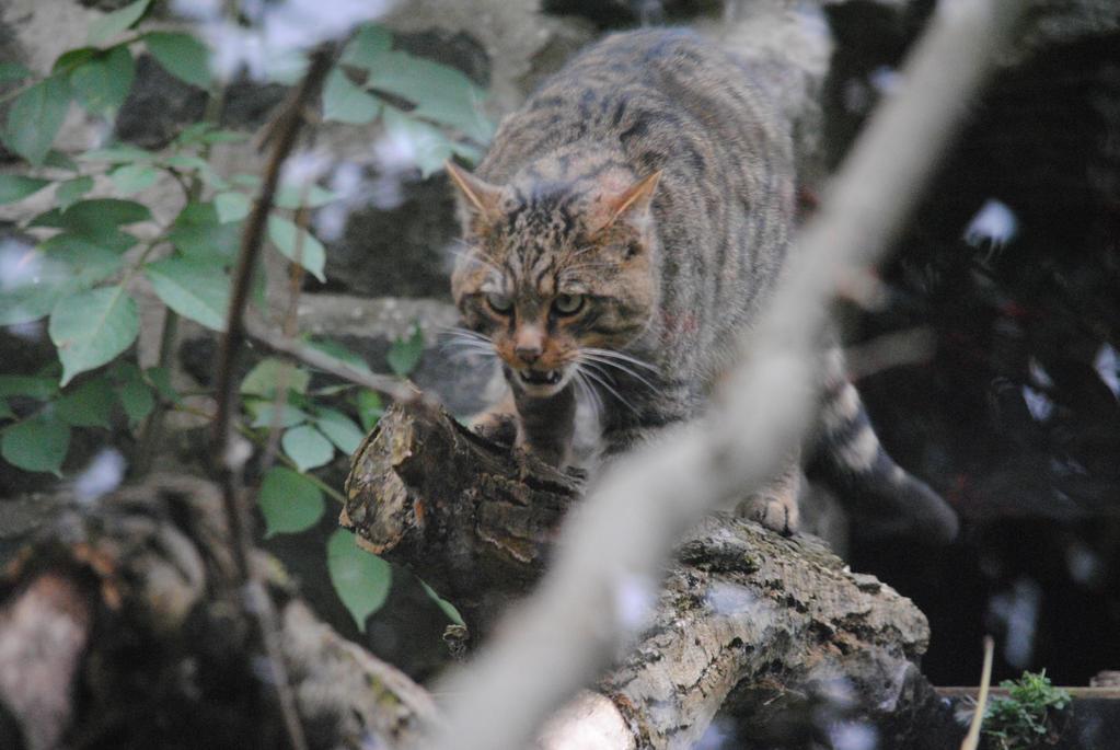 Scottish Wildcat by Pridalic11