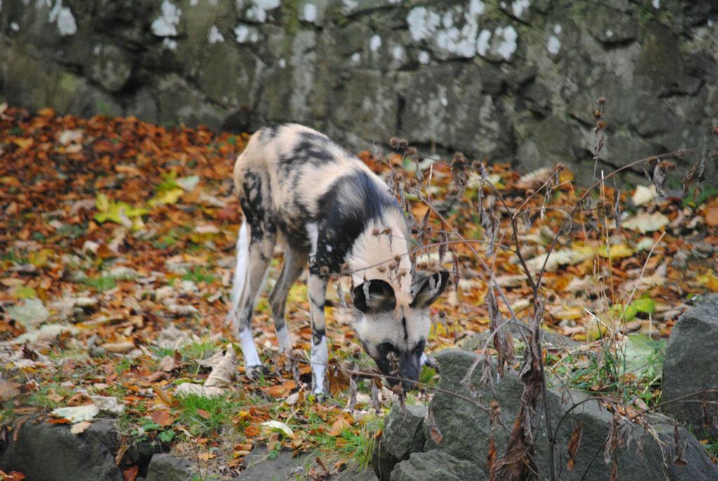 African Hunting Dog by Pridalic11