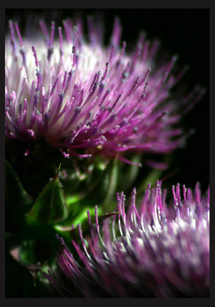 Thistle by Zepherillas2