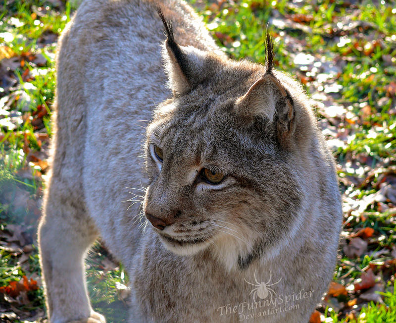 Bobcat - Lynx by TheFunnySpider