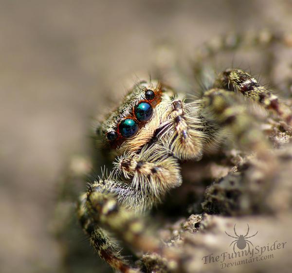 Marpissa muscosa - female by TheFunnySpider