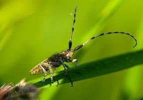 Agapanthia villosoviridescens by TheFunnySpider