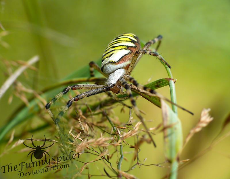 Female Wasp Spider - Argiope bruennichi by TheFunnySpider