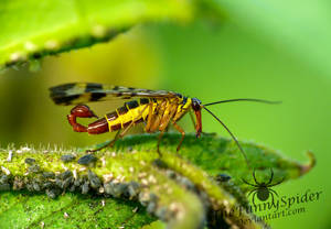 Male Scorpion Fly looking for food by TheFunnySpider