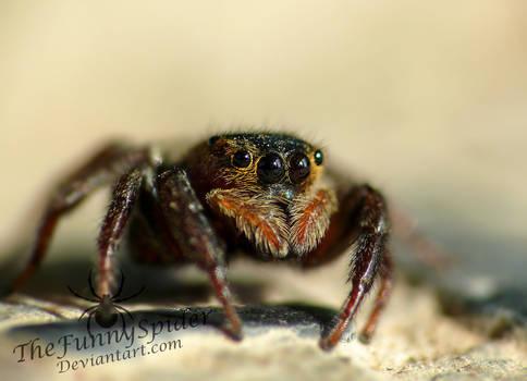 Greenhouse - Jumping Spider - Hasarius Adansoni