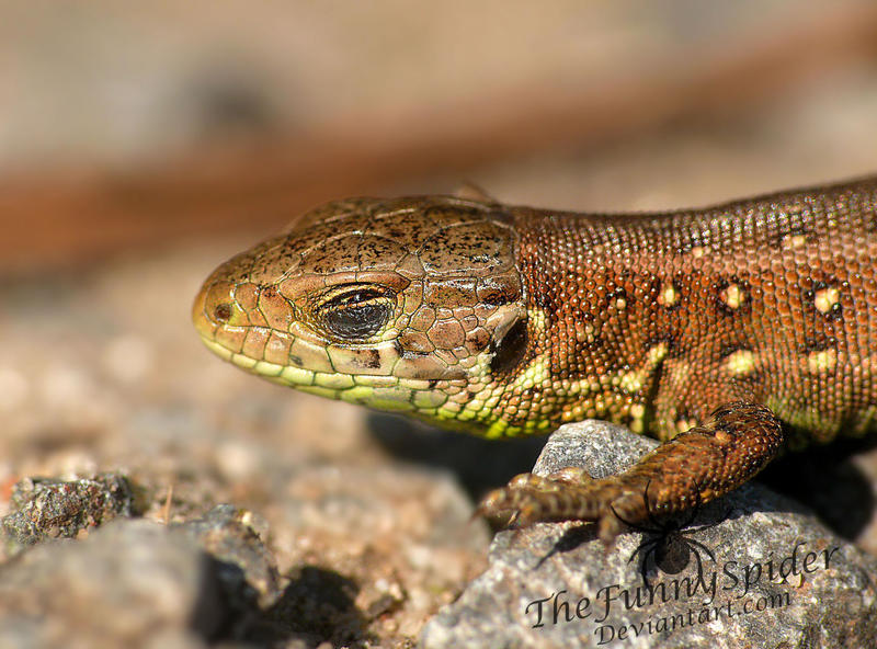 Sleepy Sand Lizard by TheFunnySpider