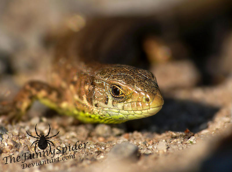 Sand Lizard  -Lacerta agilis by TheFunnySpider