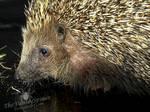 Cute Hedgehog by TheFunnySpider
