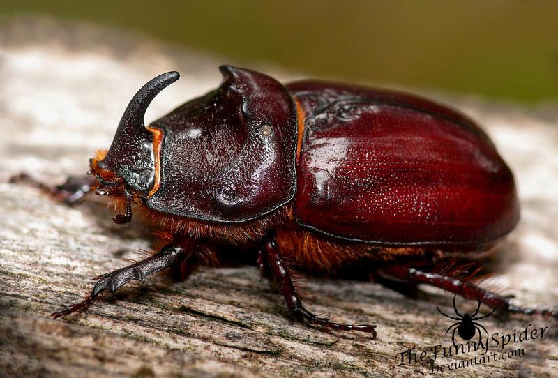 Big European Rhinoceros Beetle - Oryctes nasicorni by TheFunnySpider