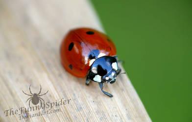 Ladybug - Coccinella septempunctata