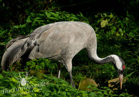Common Crane - Grus grus by TheFunnySpider