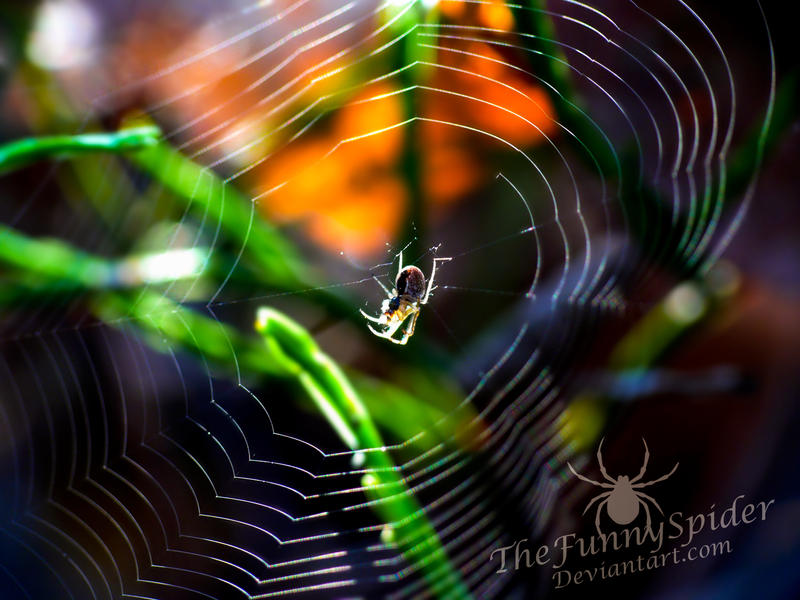 Baby Autumn Spider in her Web - Metellina mengei by TheFunnySpider