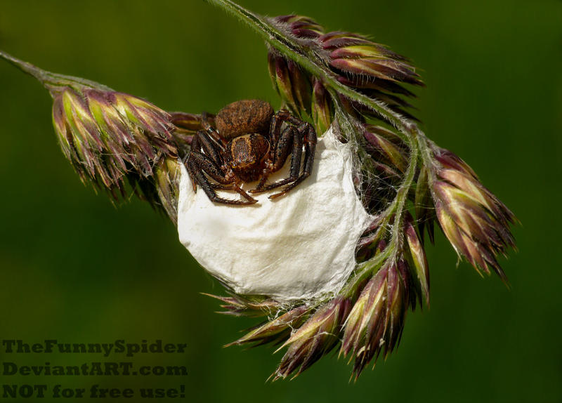 Crab Spider Mommy guarding her nest by TheFunnySpider