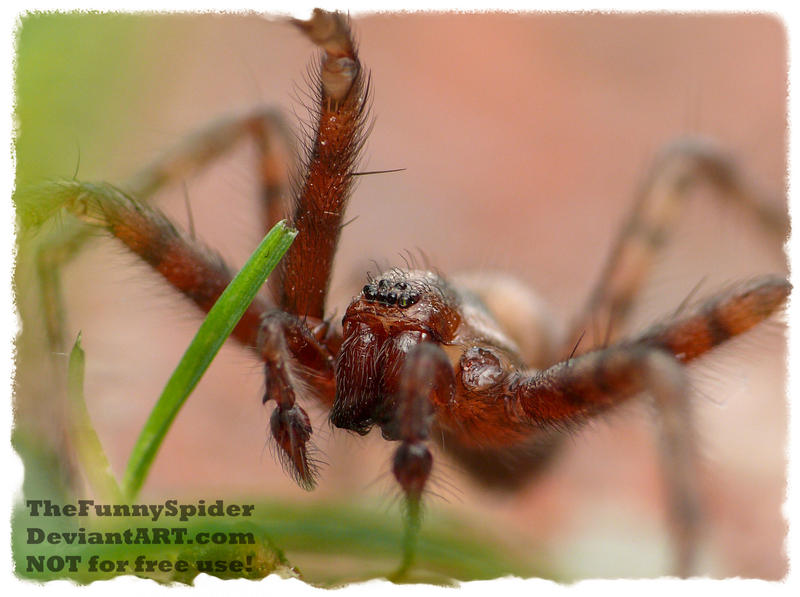 Tegenaria domestica - Young Male by TheFunnySpider