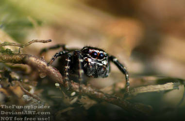 Jumping Spider in Black and White - Germany 2017 by TheFunnySpider