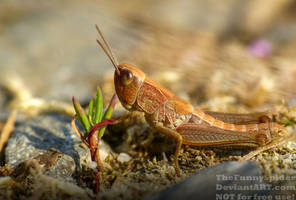Cute Grasshopper - close up by TheFunnySpider
