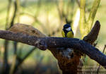 The great tit - Parus major by TheFunnySpider