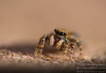 First Jumping Spider 2019 by TheFunnySpider