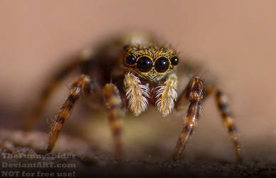 Pseudeuophrys lanigera - closeup by TheFunnySpider