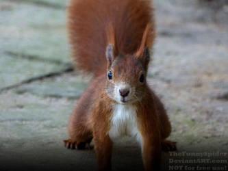 Eurasian red squirrel - Sciurus vulgaris by TheFunnySpider