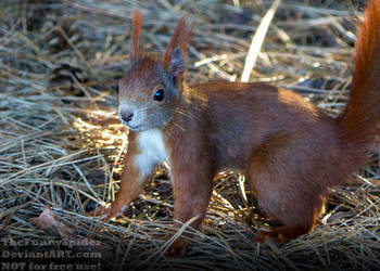 Wild Eurasian red squirrel by TheFunnySpider