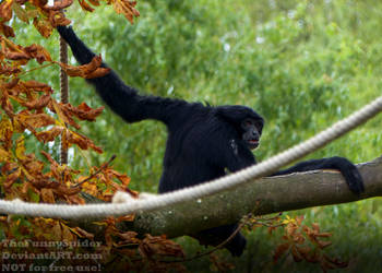 Siamang - Symphalangus syndactylus by TheFunnySpider