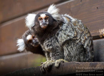 Common Marmoset - Callithrix jacchus by TheFunnySpider
