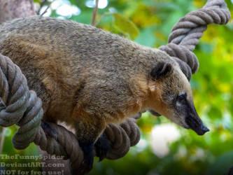 South American coati - Nasua nasua by TheFunnySpider