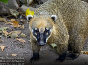 Adorable South American coati by TheFunnySpider