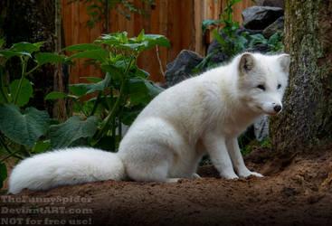 Arctic fox - Vulpes lagopus by TheFunnySpider