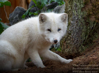 Arctic Fox digging a hole by TheFunnySpider