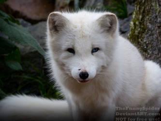 Arctic fox Portrait - Vulpes lagopus by TheFunnySpider